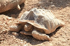 Αφρικάνικη Χελώνα